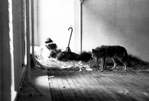 I Like America and America Likes Me. Coyote. Beuys, 1965