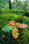 Oakleaf, Ariundle Nature Reserve