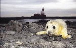 Grey Seal, Farne Islands